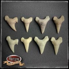 Haifischzähne 4x gross, Fossil, geschäumtes Prop/Requisit